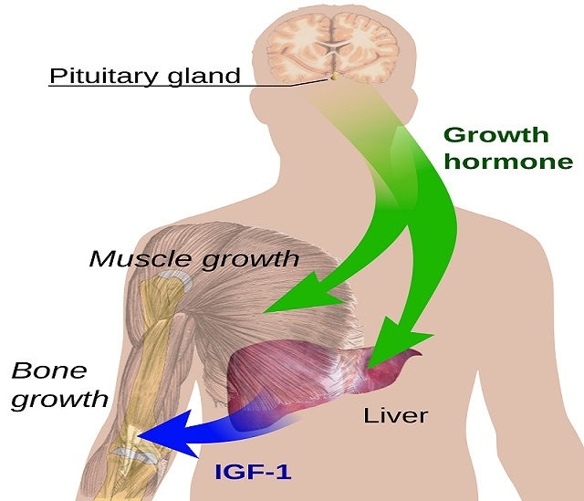 Endocrine_growth_regulation