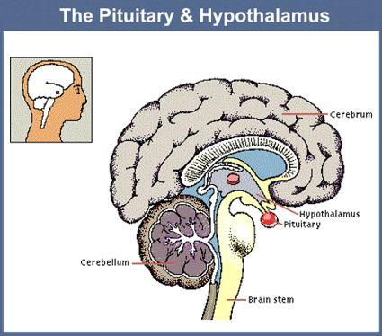 hypothalamus-pituitary
